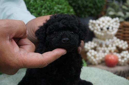 トイプードルの子犬(ID:1231011329)の3枚目の写真/更新日:2017-12-02