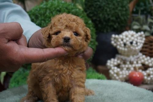 トイプードルの子犬(ID:1231011330)の3枚目の写真/更新日:2017-12-03