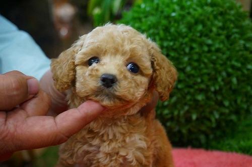 トイプードルの子犬(ID:1231011332)の1枚目の写真/更新日:2017-12-12