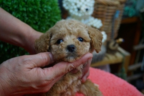 トイプードルの子犬(ID:1231011332)の3枚目の写真/更新日:2017-12-12