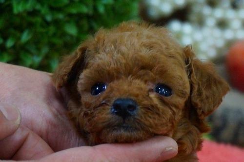 トイプードルの子犬(ID:1231011334)の1枚目の写真/更新日:2017-12-12