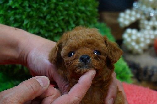 トイプードルの子犬(ID:1231011334)の2枚目の写真/更新日:2017-12-12