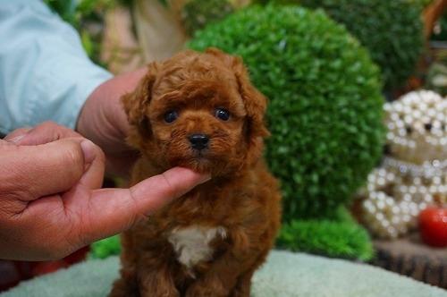 トイプードルの子犬(ID:1231011335)の3枚目の写真/更新日:2017-12-13