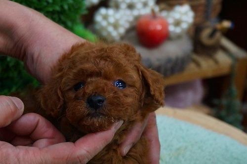 トイプードルの子犬(ID:1231011336)の1枚目の写真/更新日:2017-12-13