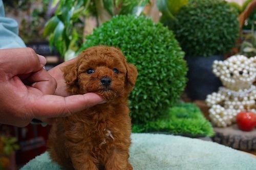 トイプードルの子犬(ID:1231011336)の2枚目の写真/更新日:2017-12-13