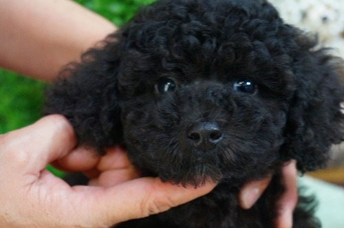 トイプードルの子犬(ID:1231011337)の1枚目の写真/更新日:2018-01-05
