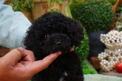 トイプードルの子犬(ID:1231011337)の2枚目の写真/更新日:2018-01-05