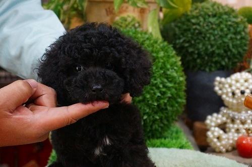 トイプードルの子犬(ID:1231011337)の3枚目の写真/更新日:2018-01-05