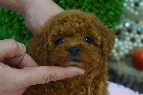 トイプードルの子犬(ID:1231011338)の1枚目の写真/更新日:2018-01-12