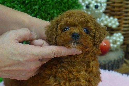 トイプードルの子犬(ID:1231011338)の3枚目の写真/更新日:2018-01-12