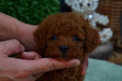 トイプードルの子犬(ID:1231011339)の1枚目の写真/更新日:2018-01-06