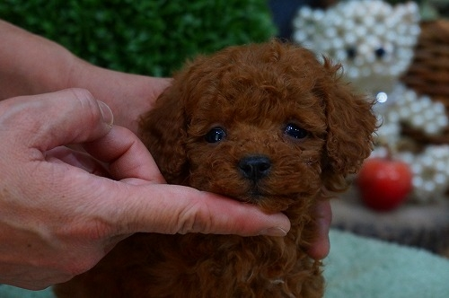 トイプードルの子犬(ID:1231011339)の2枚目の写真/更新日:2018-01-06