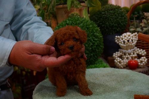 トイプードルの子犬(ID:1231011339)の3枚目の写真/更新日:2018-01-06