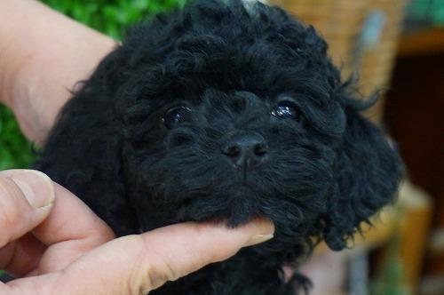 トイプードルの子犬(ID:1231011340)の1枚目の写真/更新日:2018-01-11