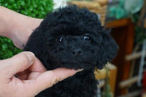 トイプードルの子犬(ID:1231011340)の2枚目の写真/更新日:2018-01-11