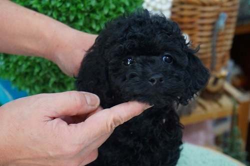 トイプードルの子犬(ID:1231011340)の3枚目の写真/更新日:2018-01-11