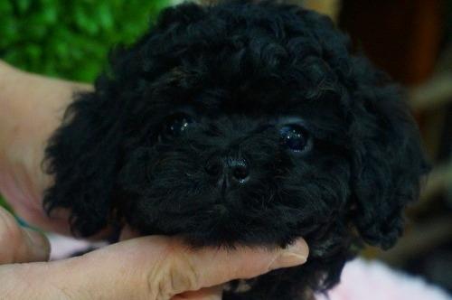 トイプードルの子犬(ID:1231011341)の1枚目の写真/更新日:2018-01-11