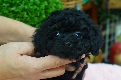 トイプードルの子犬(ID:1231011341)の2枚目の写真/更新日:2018-01-11