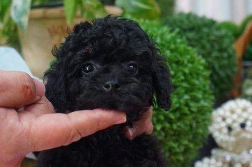 トイプードルの子犬(ID:1231011341)の3枚目の写真/更新日:2018-01-11