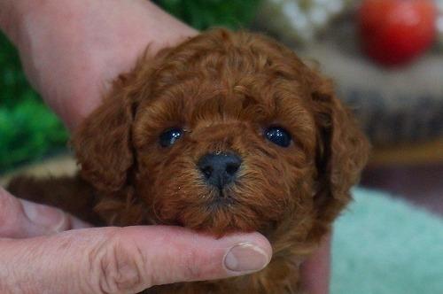 トイプードルの子犬(ID:1231011342)の1枚目の写真/更新日:2018-01-13