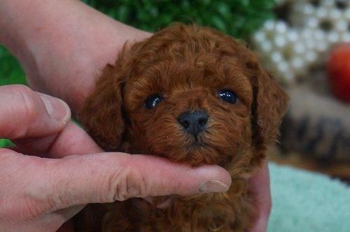 トイプードルの子犬(ID:1231011342)の2枚目の写真/更新日:2018-01-13