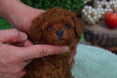 トイプードルの子犬(ID:1231011342)の3枚目の写真/更新日:2018-01-13