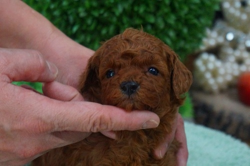 トイプードルの子犬(ID:1231011343)の1枚目の写真/更新日:2018-01-13