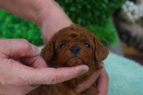 トイプードルの子犬(ID:1231011343)の2枚目の写真/更新日:2018-01-13