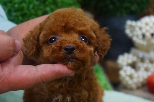 トイプードルの子犬(ID:1231011344)の1枚目の写真/更新日:2018-01-13