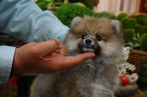 ポメラニアンの子犬(ID:1231011345)の3枚目の写真/更新日:2018-03-10
