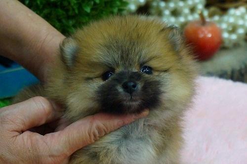 ポメラニアンの子犬(ID:1231011346)の1枚目の写真/更新日:2018-01-31