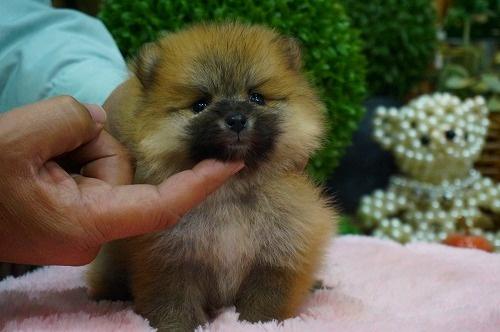 ポメラニアンの子犬(ID:1231011346)の2枚目の写真/更新日:2018-01-31