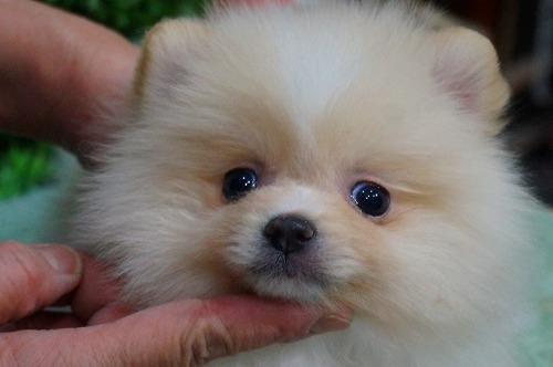 ポメラニアンの子犬(ID:1231011347)の1枚目の写真/更新日:2018-01-25
