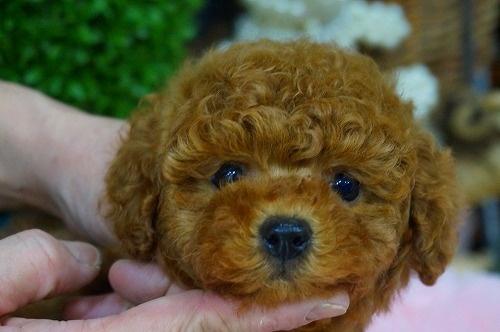 トイプードルの子犬(ID:1231011349)の1枚目の写真/更新日:2018-01-30