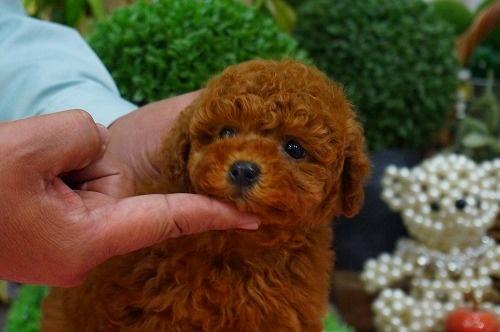 トイプードルの子犬(ID:1231011349)の3枚目の写真/更新日:2018-01-30