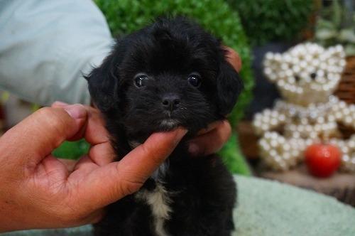 ミックスの子犬(ID:1231011350)の2枚目の写真/更新日:2018-02-15