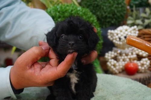 ミックスの子犬(ID:1231011350)の3枚目の写真/更新日:2018-02-15