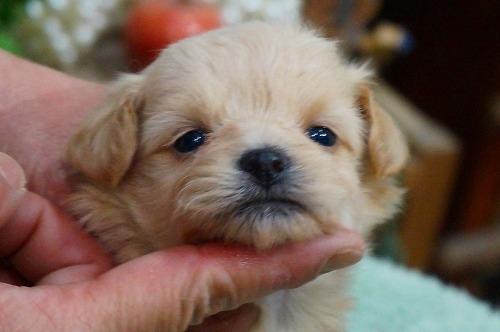 ミックスの子犬(ID:1231011351)の1枚目の写真/更新日:2018-01-30