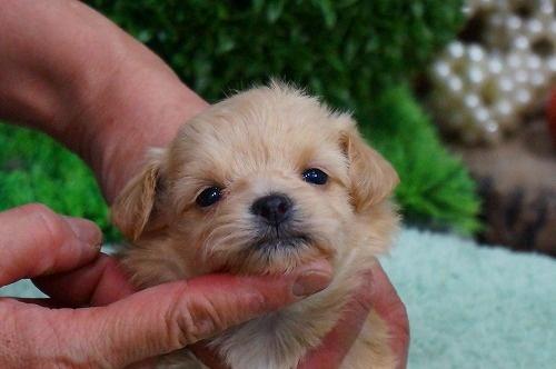 ミックスの子犬(ID:1231011351)の3枚目の写真/更新日:2018-01-30