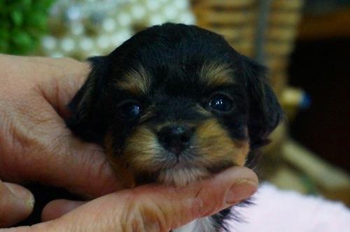 ミックスの子犬(ID:1231011353)の1枚目の写真/更新日:2018-01-30