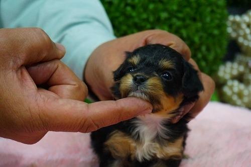 ミックスの子犬(ID:1231011353)の3枚目の写真/更新日:2018-01-30