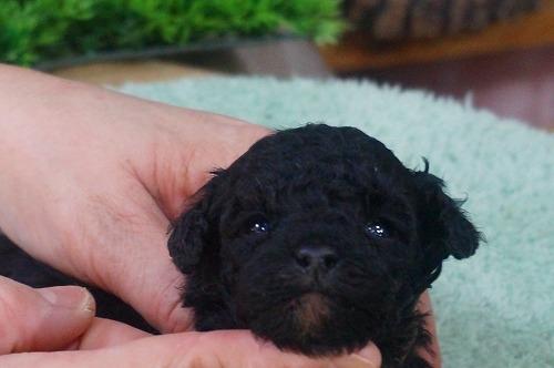 トイプードルの子犬(ID:1231011354)の1枚目の写真/更新日:2018-02-08