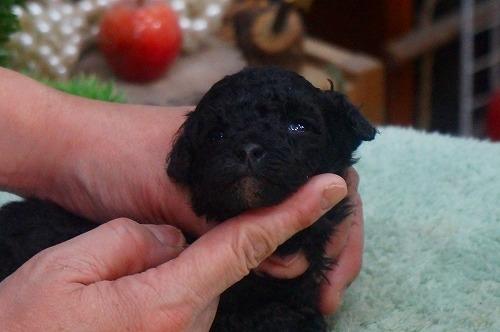 トイプードルの子犬(ID:1231011354)の2枚目の写真/更新日:2018-02-08