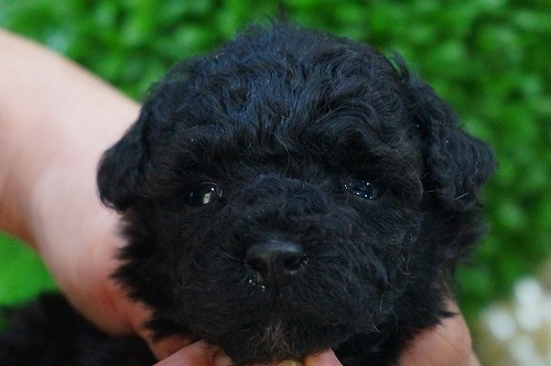 トイプードルの子犬(ID:1231011355)の1枚目の写真/更新日:2018-02-15