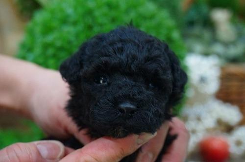 トイプードルの子犬(ID:1231011355)の2枚目の写真/更新日:2018-02-15