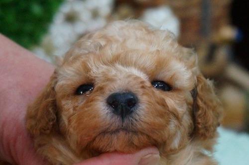 トイプードルの子犬(ID:1231011356)の1枚目の写真/更新日:2018-02-15
