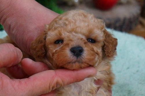 トイプードルの子犬(ID:1231011356)の2枚目の写真/更新日:2018-02-15