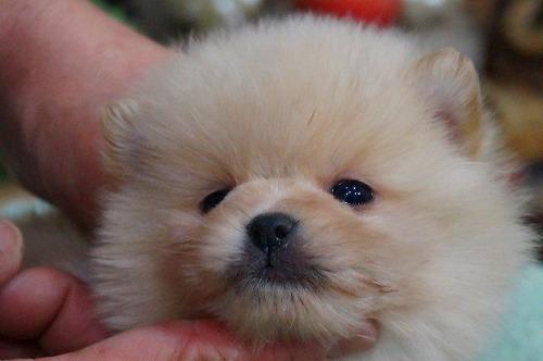 ポメラニアンの子犬(ID:1231011358)の1枚目の写真/更新日:2018-02-24