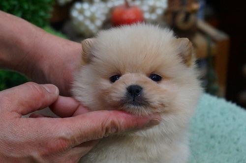 ポメラニアンの子犬(ID:1231011358)の2枚目の写真/更新日:2018-02-24