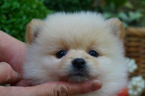 ポメラニアンの子犬(ID:1231011359)の1枚目の写真/更新日:2018-03-06